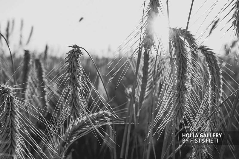 Колосья пшеницы в свете заката, чб