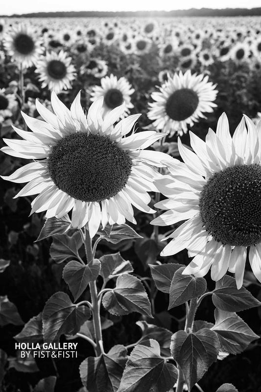 Подсолнухи на солнце, черно-белая фотография