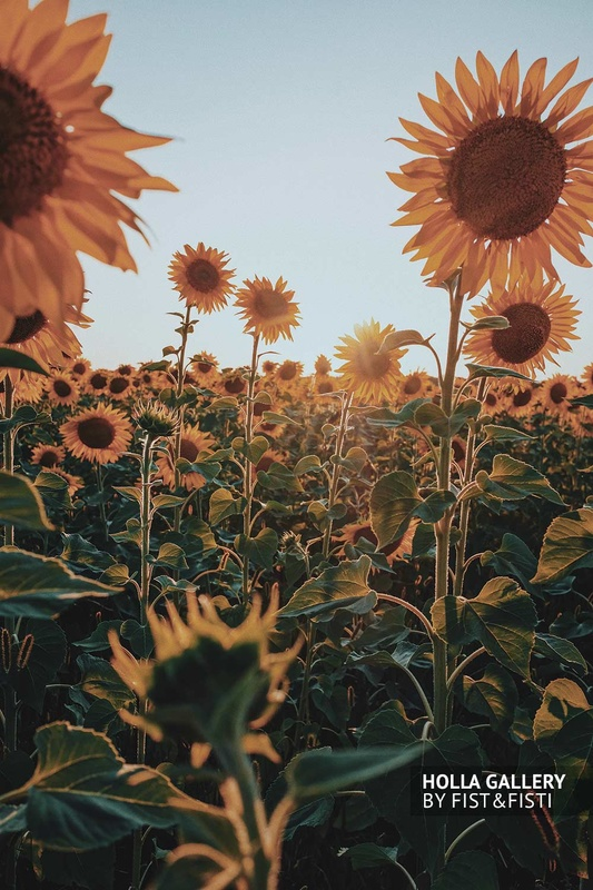 Подсолнухи на солнце, постер