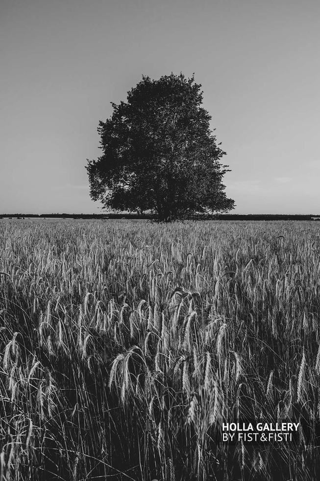 Дерево в поле среди колосьев, чб. Деревня в России