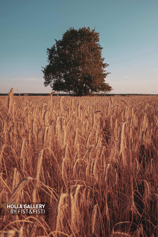 Дерево посреди поля пшеницы. Провинция, Россия
