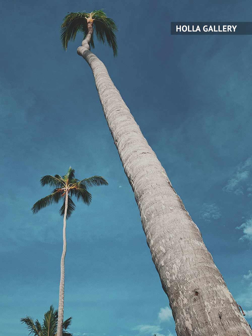 Большая пальма в Доминикане
