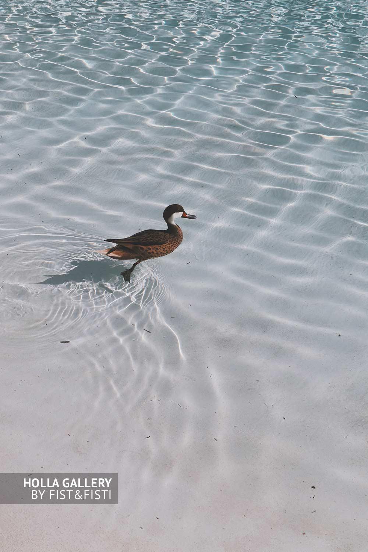 Утка в прозрачной воде океана с белоснежным пляжем. Фото для декора