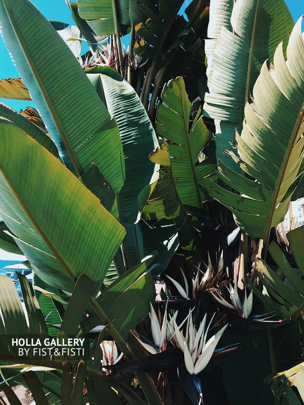 Банановые листья в ясный солнечный день. Текстура листьев пальмы