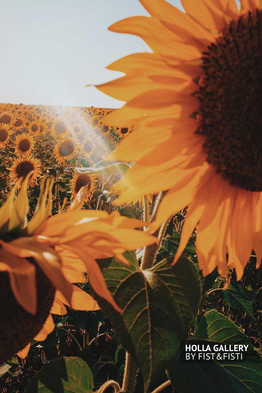 Подсолнух в солнечных лучах, close up photo